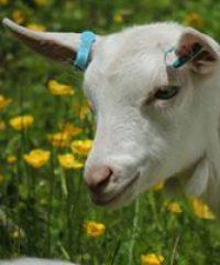 Duchy Goat Company