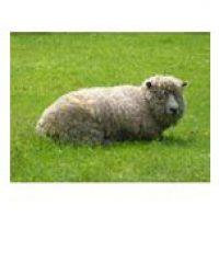 Ewephoric Lamb
