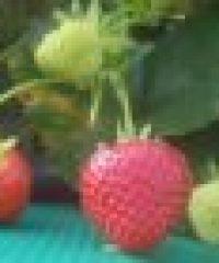 Mitchell Fruit Garden